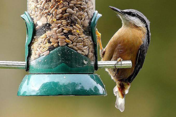 Wild humming bird food